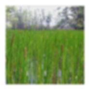 eleocharis-interstincta.jpg