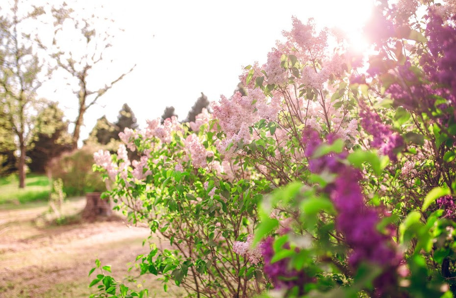 Lilac Bush.JPG