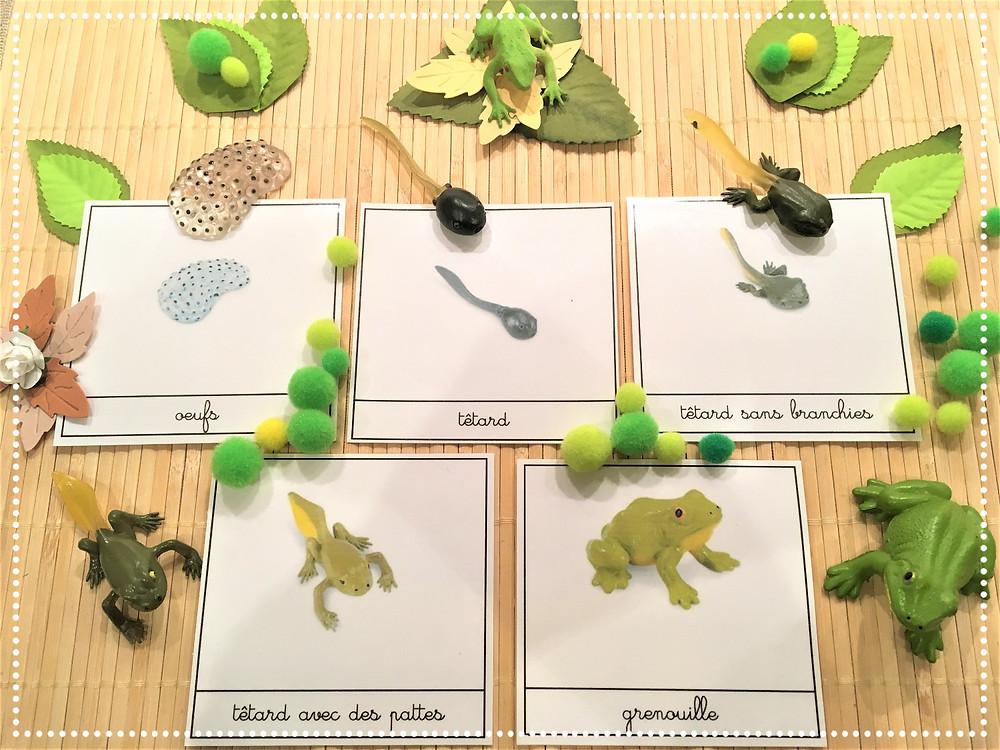 DIY Atelier Montessori : Cycle de la Vie de la Grenouille (PDF)