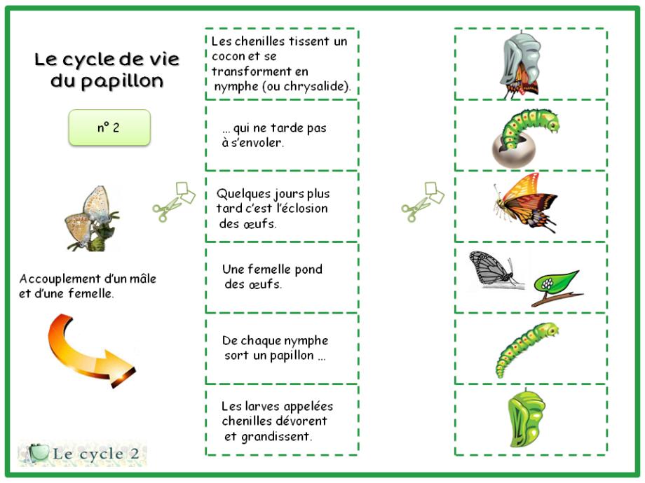 Cycle de Vie du Papillon