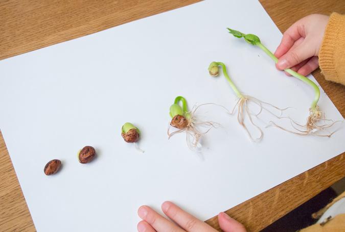 DIY Atelier Montessori : Cycle de Vie de la Graine de Haricot (PDF)
