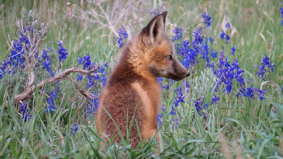 Colorado Fox Kit