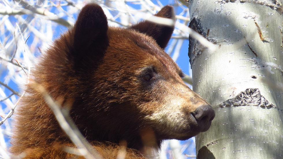 Bear Profile