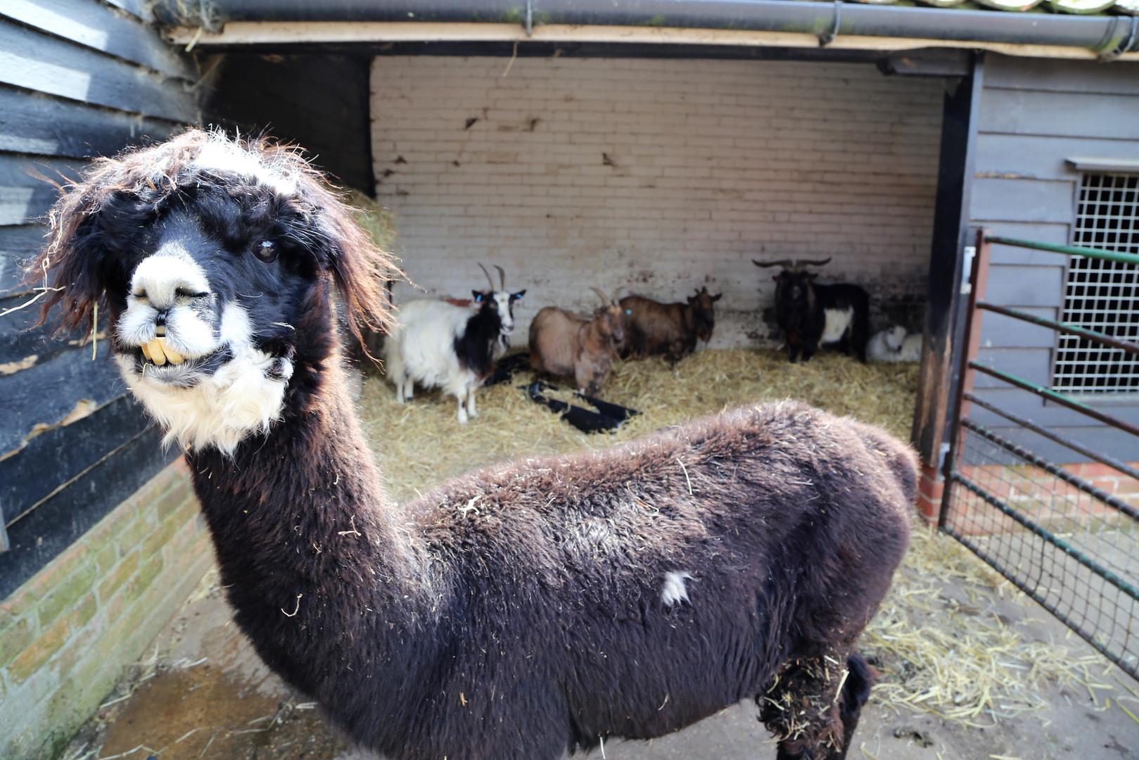 alpaca and pigmy goats 2.jpg