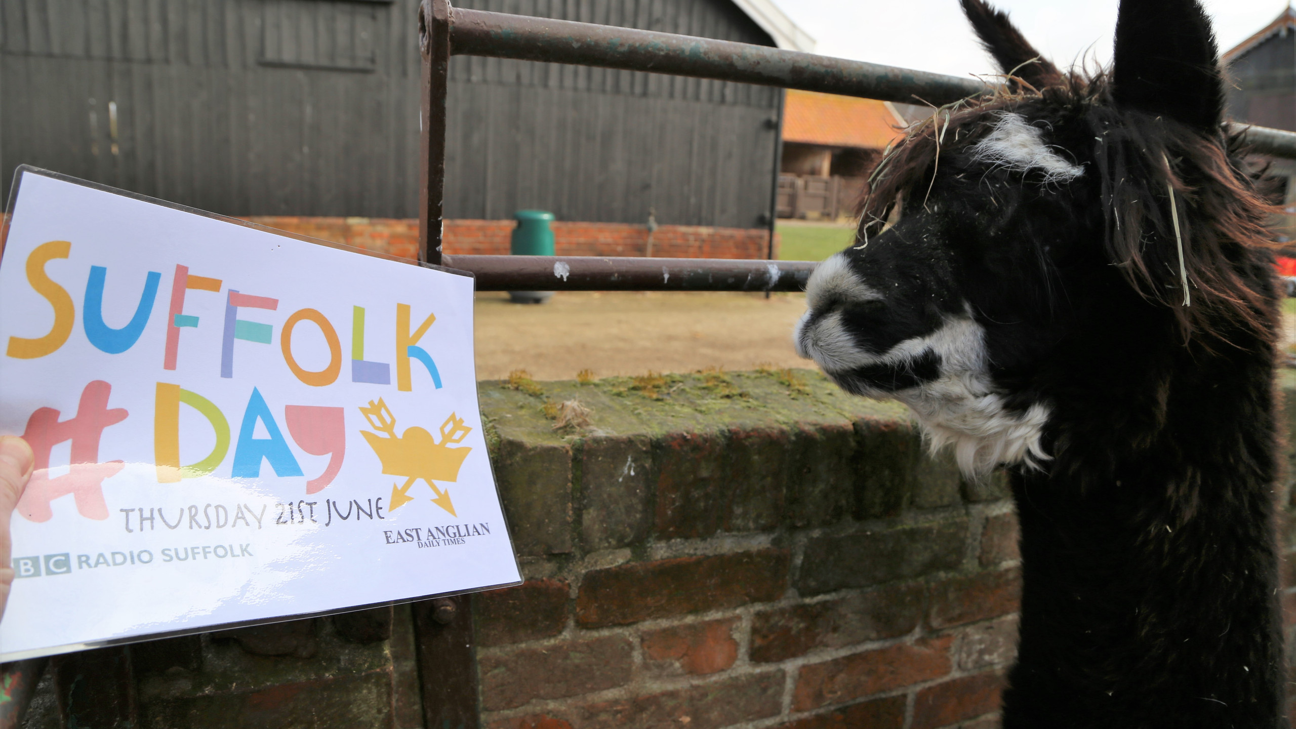 The alpaca cant wait for Suffolk Day