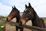 Pair of retired horses.JPG