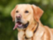 Labrador.jpg