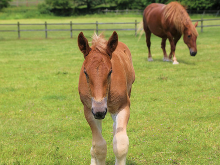 See Suffolk Punches on Suffolk Day