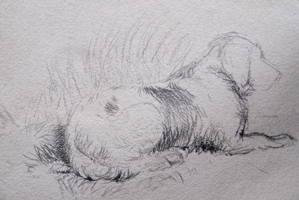 Resting Spaniel