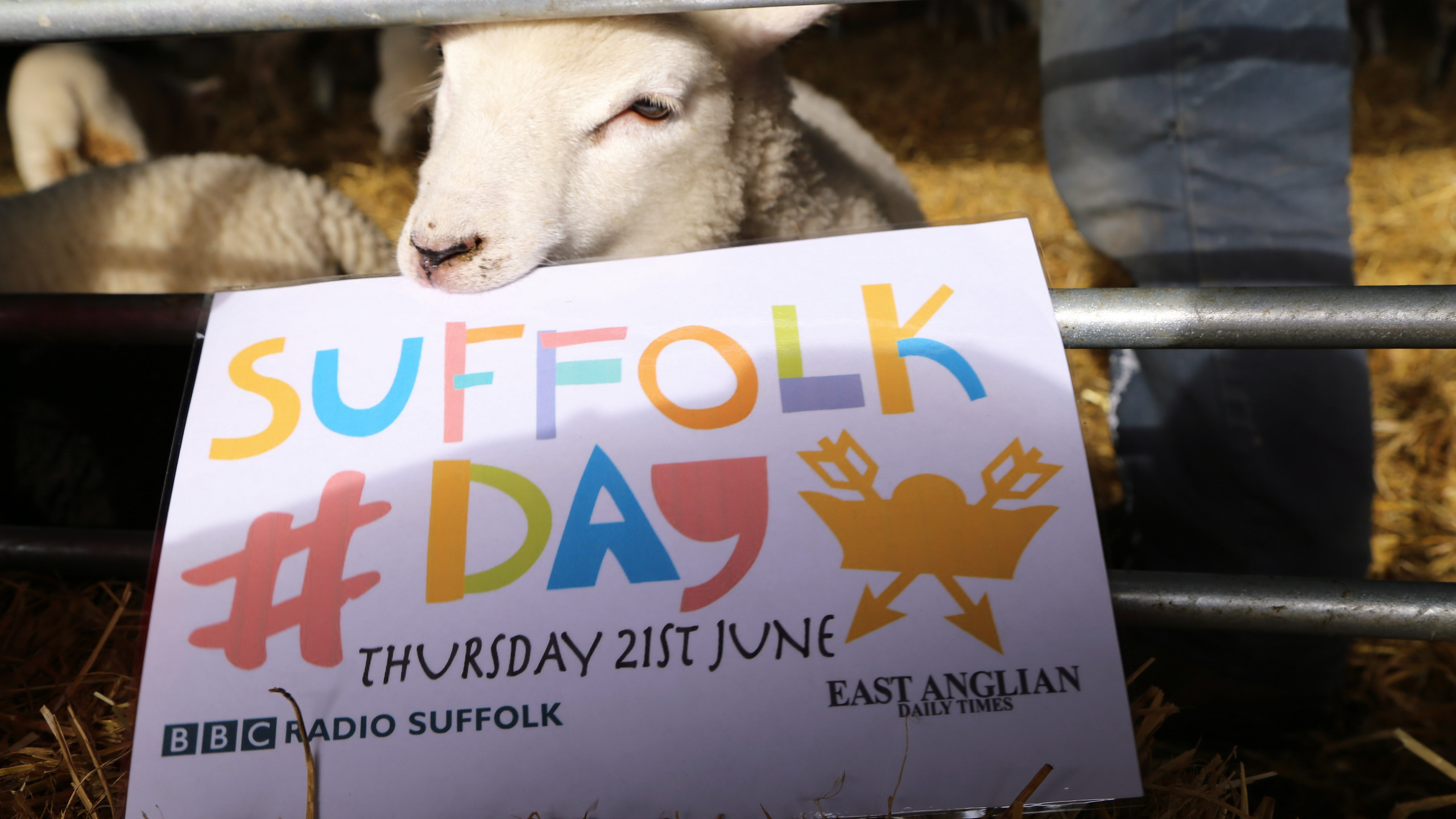 Lambs are interested in Suffolk Day
