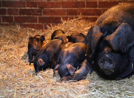 See the piglets at Easton Farm Park
