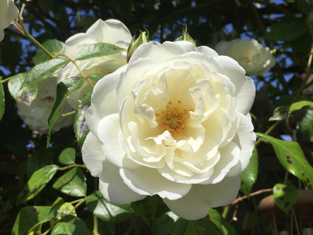 Poem: The Peace Rose