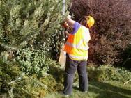 Volunteer trimming hedges