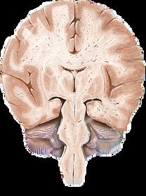 Desenho cérebro corte coronal Netter Grossi Eric