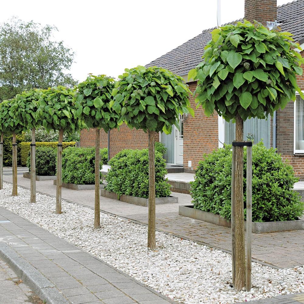 Kugeltrompetenbaum.jpg