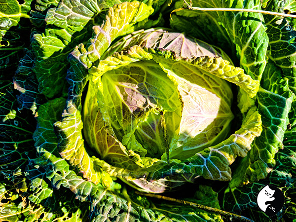 January King cabbage in Feb.