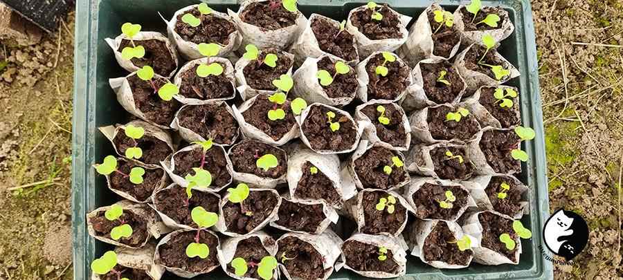 Seedlings in tea bags