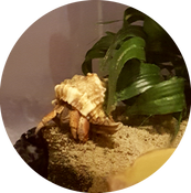 Hermit Crab in crabitat touching the edge of the coco hut with his leg.