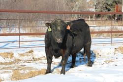 Heifer Bull