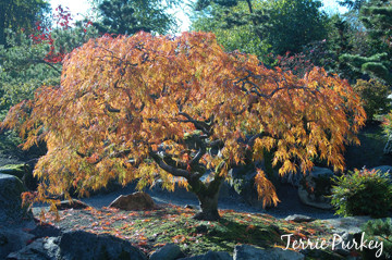 japanese maple photo by Terrie Purkey