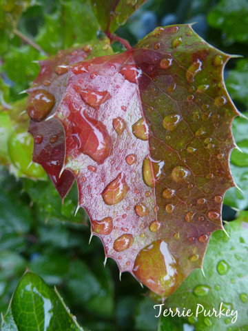 red leaf with raindrops photo by Terrie Purkey