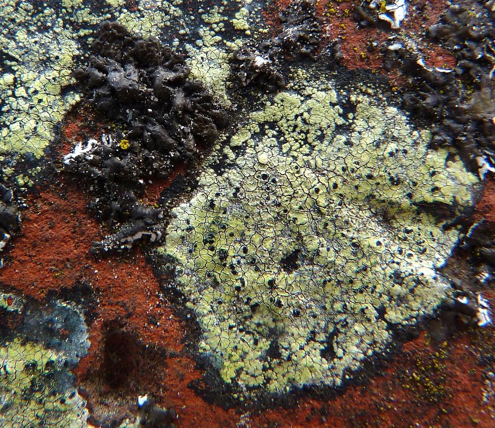 Rhizocarpon geographicum s.l. met Xanthoparmelia loxodes