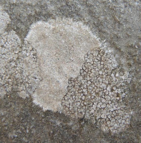 Foto 1: Circinarea contorta en C. calcarea