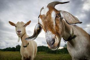 Goats General.png