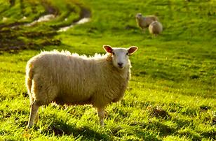 Sheep General.png