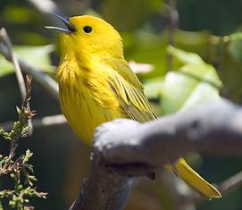 03 Spring Yellow warbler.tif