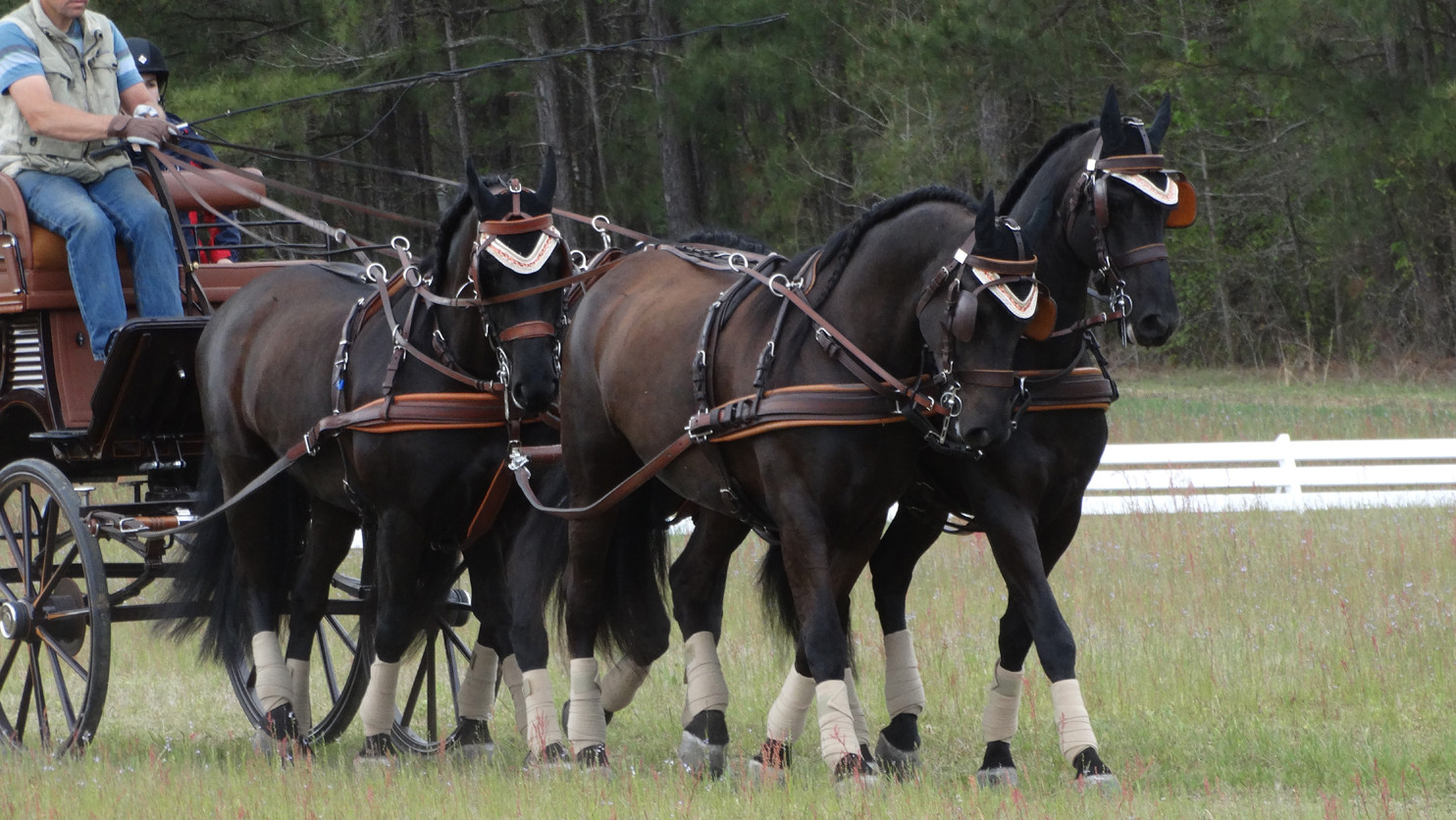 four-in-hand-arabo-friesians-cde-souther