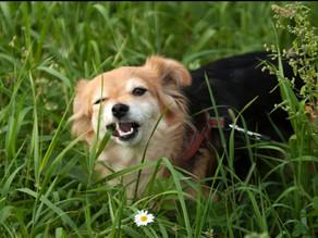 #edublog: perché i cani mangiano l'erba?