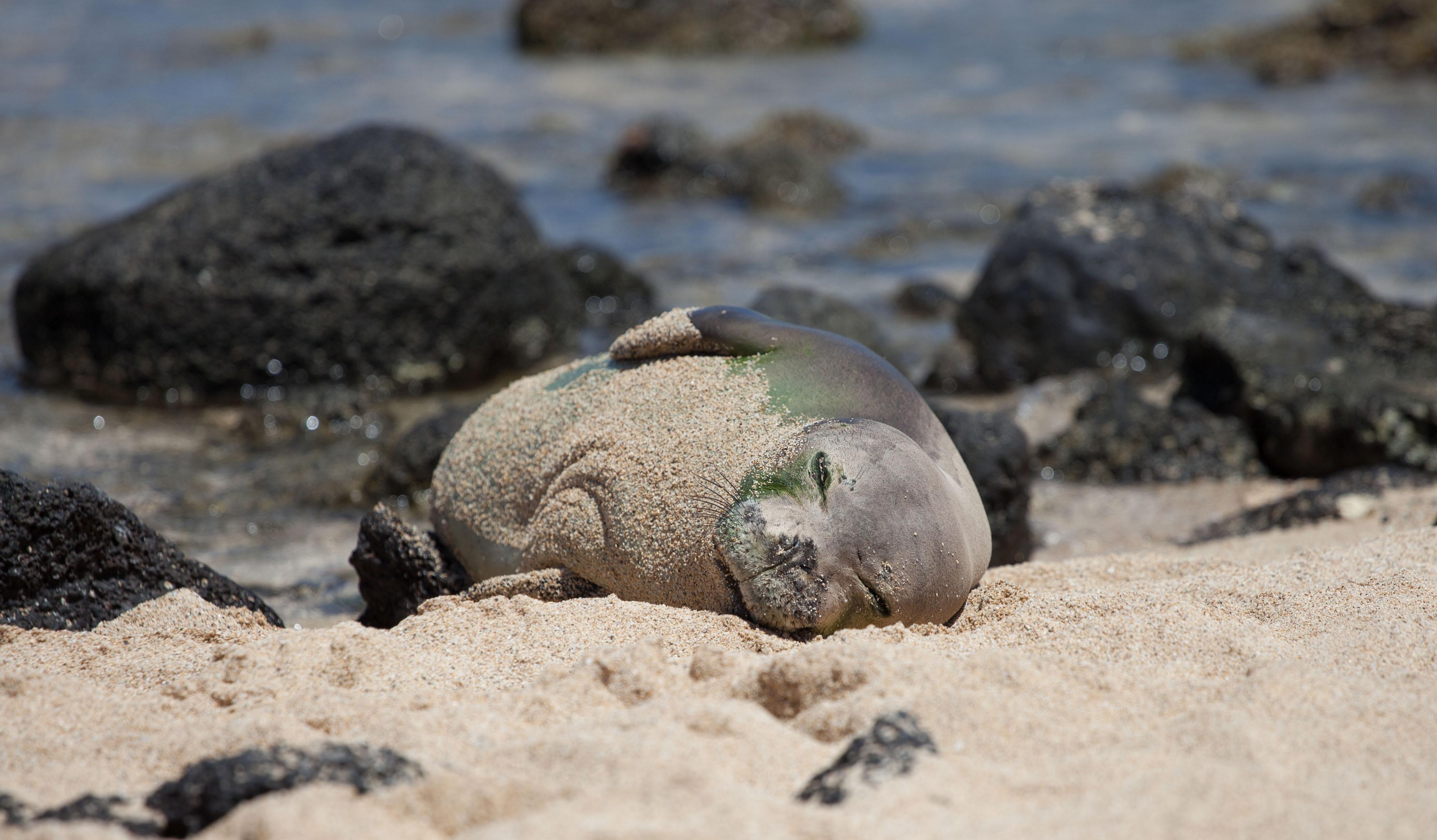The Seal Hawaii