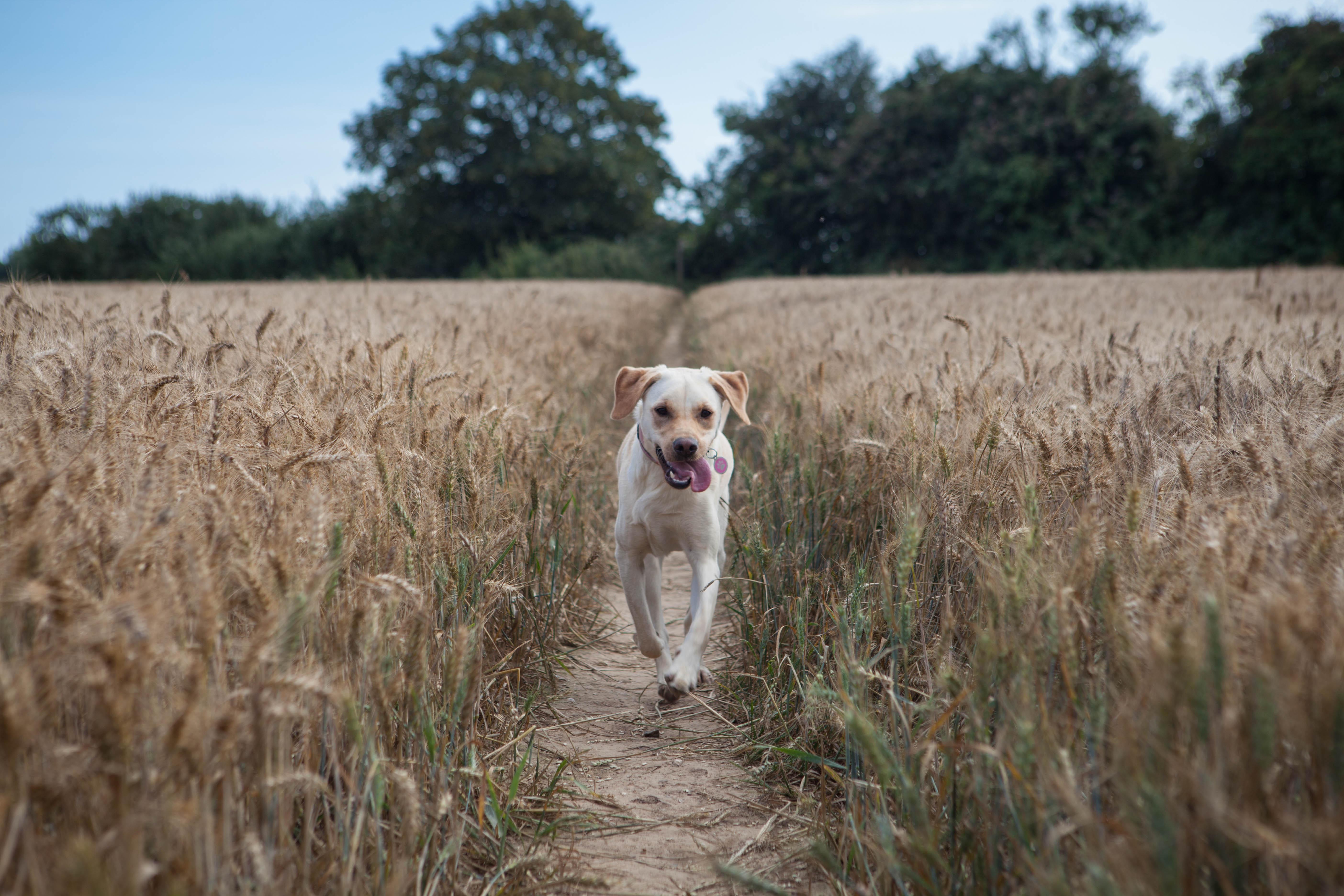 Corn field running