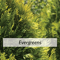 Evergreens.png