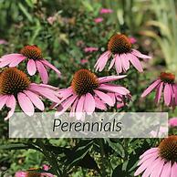 Perennials.png