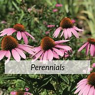 Perennials2.png