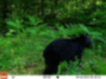 bear 7-6-19.JPG