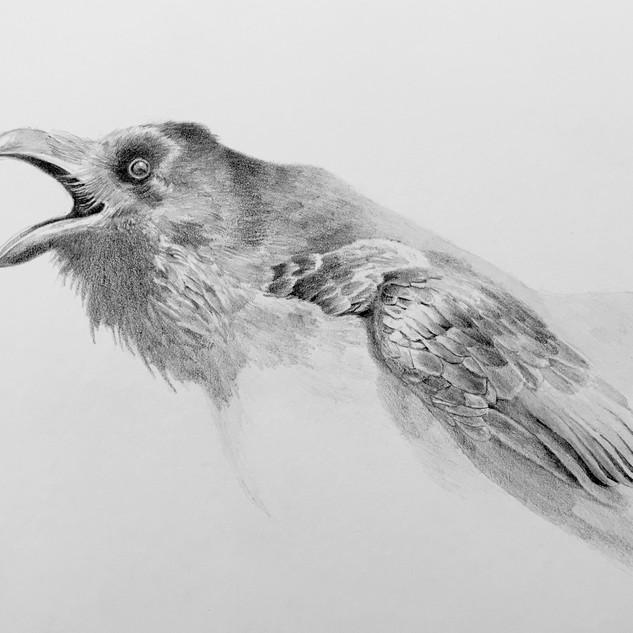Crow 2 5 x 7.jpg