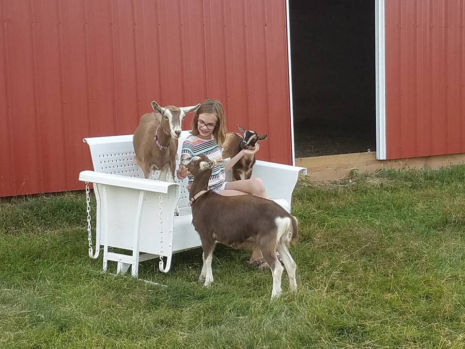 Our goats Thelma, Louise, and Buddy are playful and cuddly