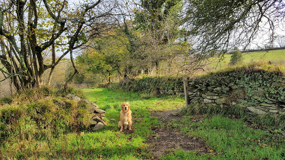Our dog sitting in the field between two stone walls.
