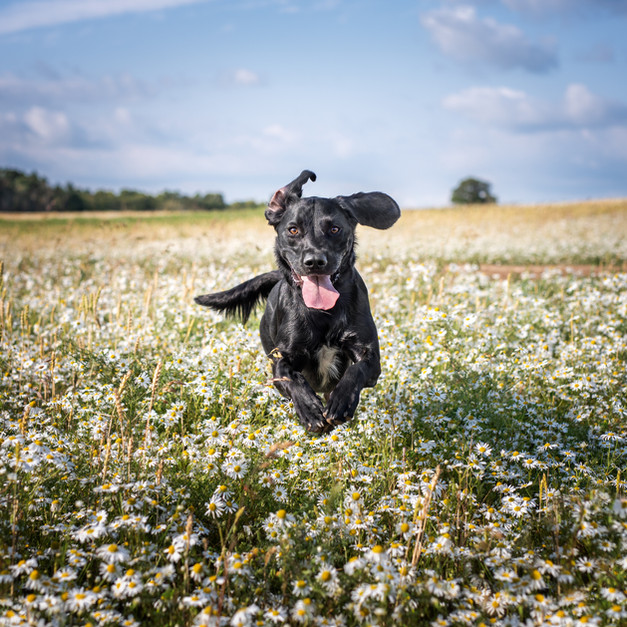 Springador running through daisies.jpg