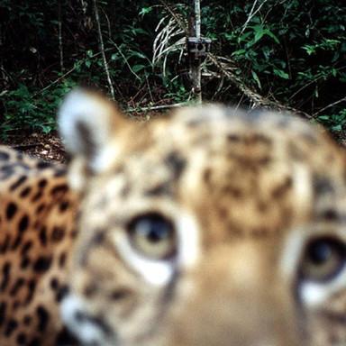 Jaguar Selfie Belize - Camera trap captu