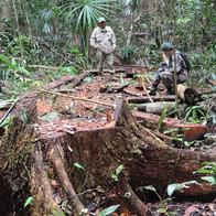 Illegal Logging Chiquibul National Park.