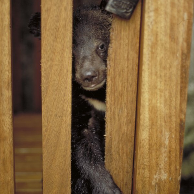 Bear cub in Peru