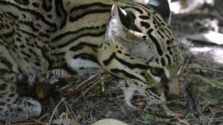 Rangers discover evidence of one of Americas most reclusive, resilient and beautiful cats!