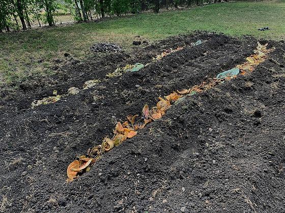 bokashi scraps in garden bed.jpg