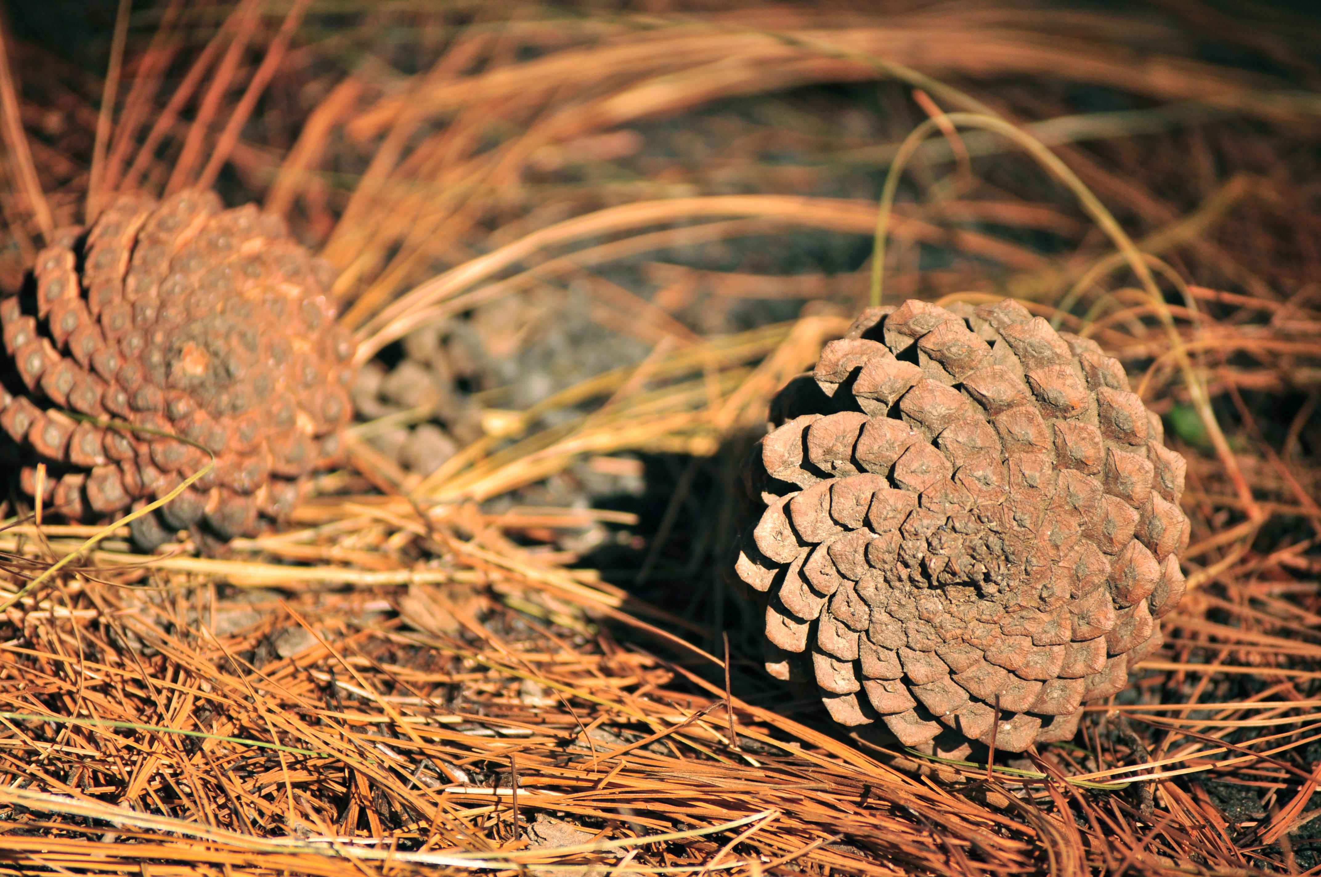 Pinus_maximinoi_cones_Guatemala_1