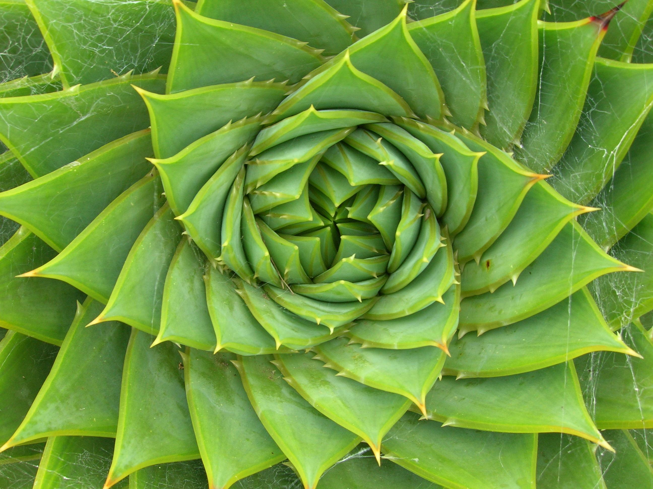 Spiral_aloe