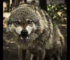 Fear A Snarling Wolf.jpg
